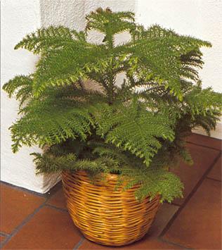 комнатные хвойные растения фото с названиями