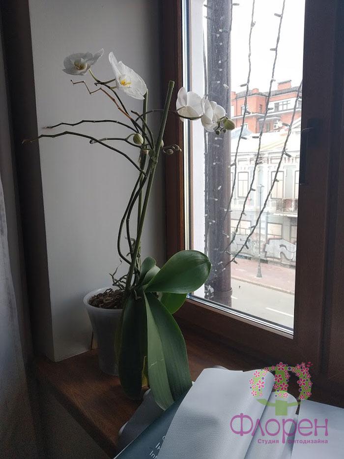 Сбрасывание бутонов у орхидей