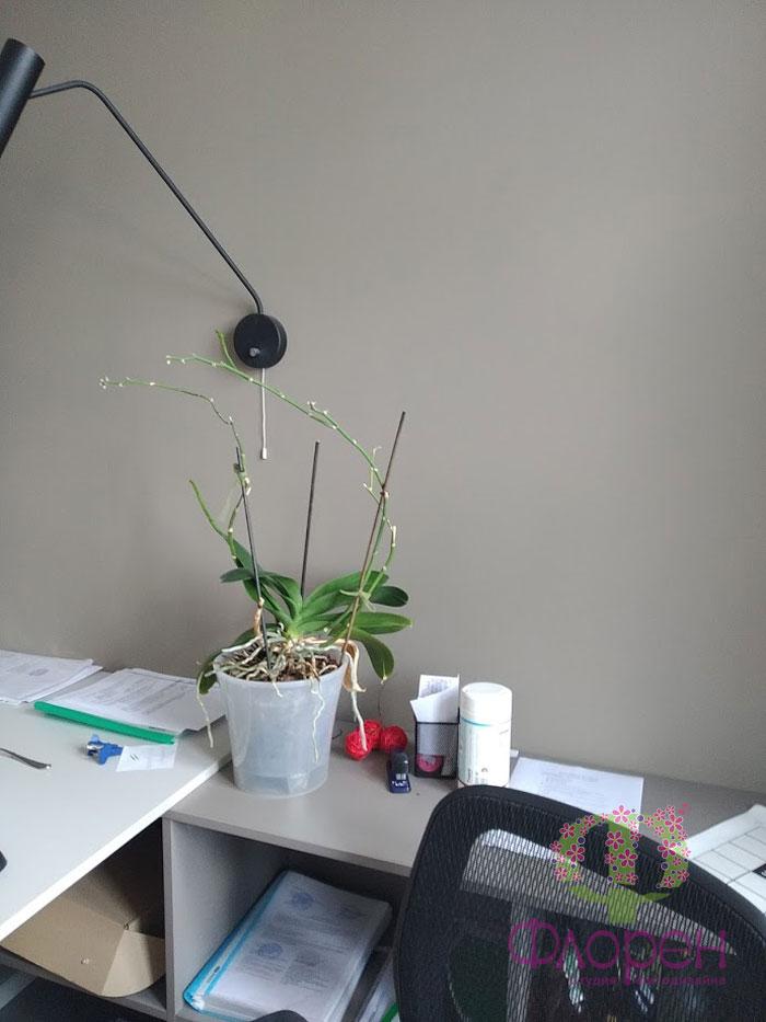 Орхидея. Уход и лечение