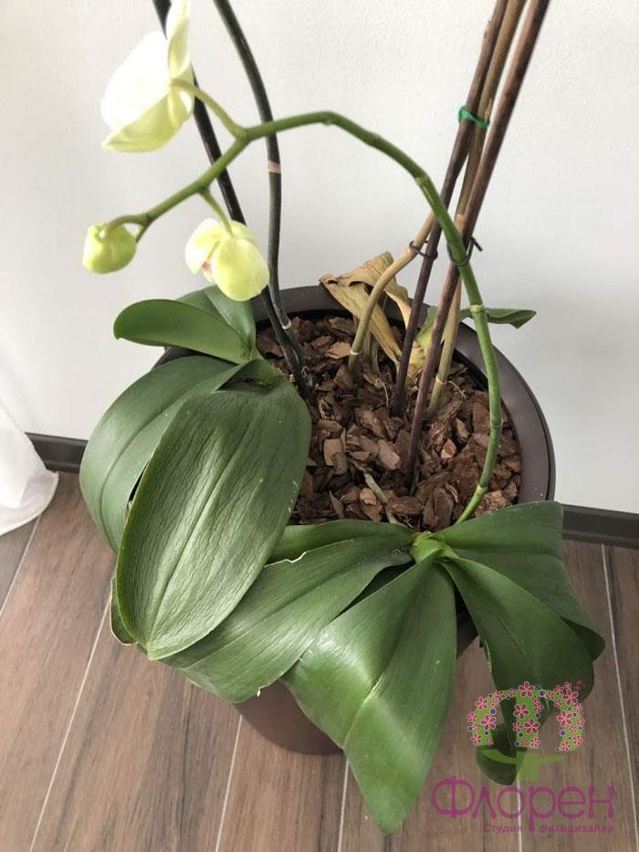 Возраст у орхидей