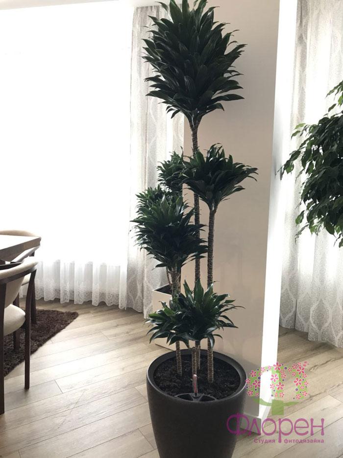 Драцена. Комнатные растения