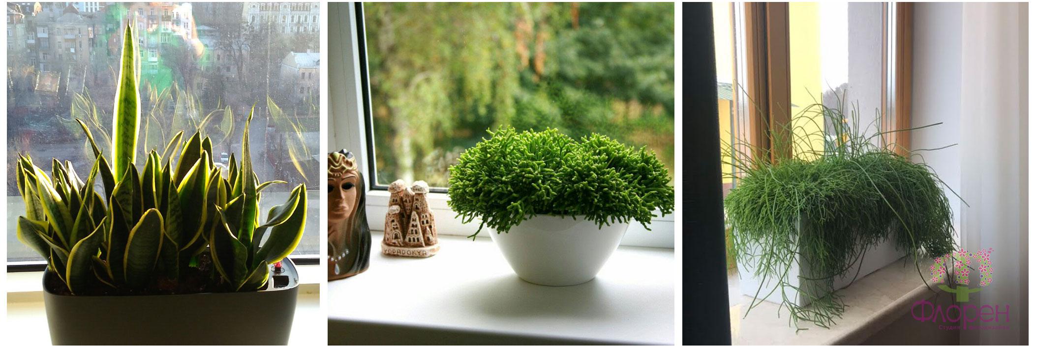 Рослини на вікні. Фото 5
