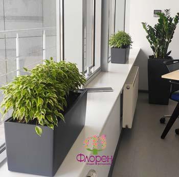 Фикус Бенджамина Кинки для озеленения офиса
