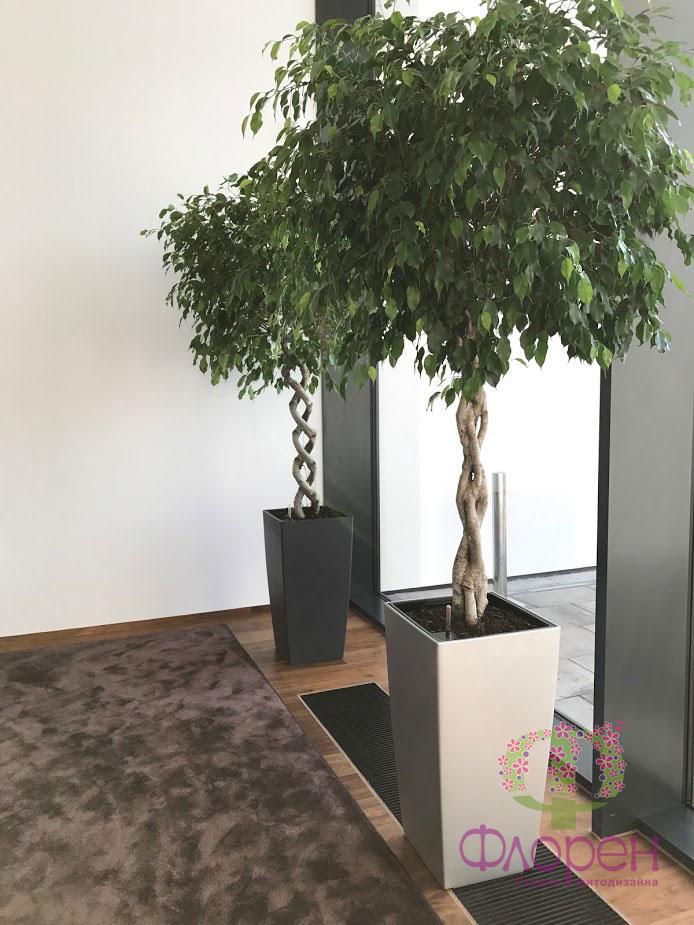 Фикусы. Растения в доме. Фото 4
