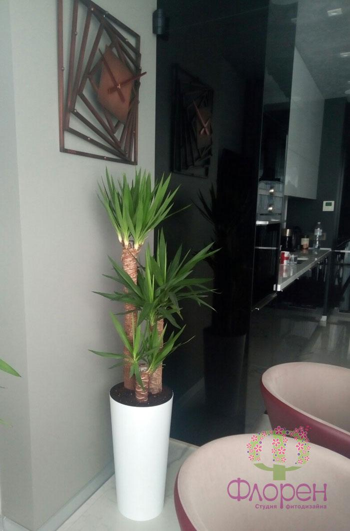 Юкка. Цветы в квартире. Фото 3