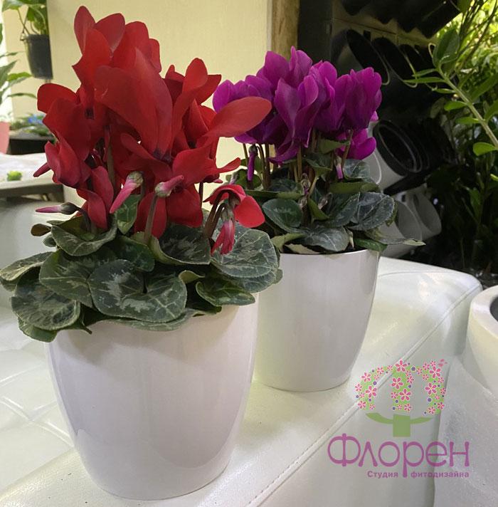 Цветущие растения. Цикламены. Фото 6
