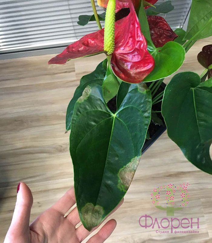 Гибнут цветы в офисе. Болезни - Фото 1