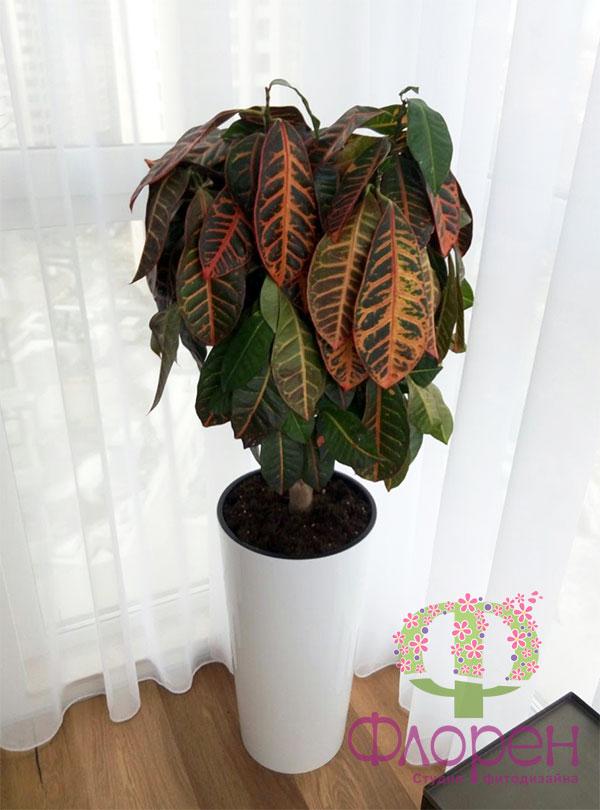 Кротон в'януть листя – Фото 1