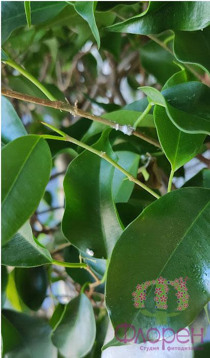 липкі плями на рослині