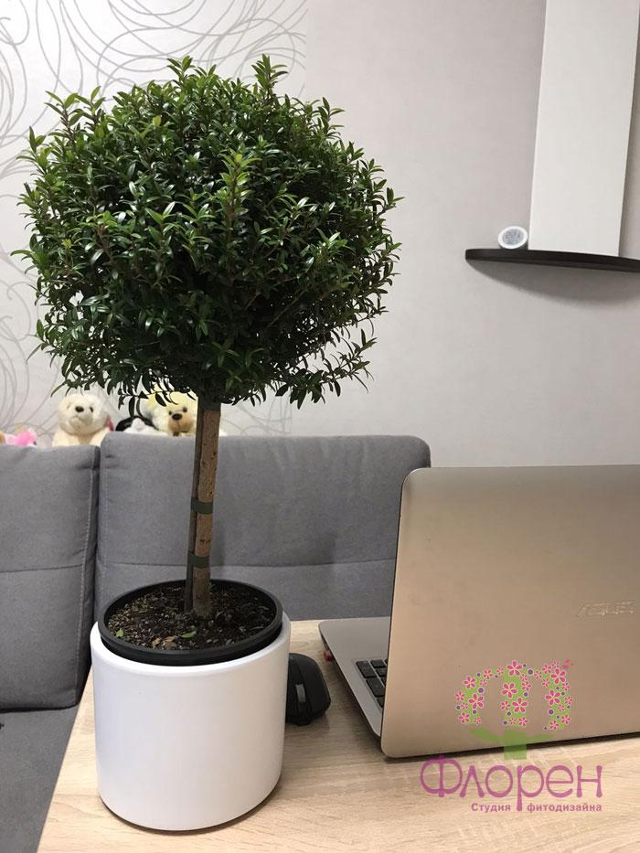 Кімнатна рослина. Мирт