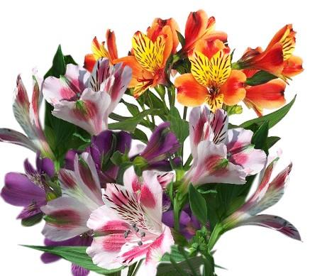 Астельмерия цветок