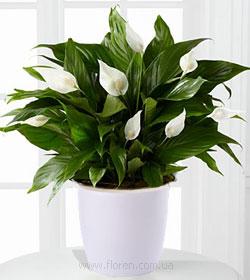 Цветок спатифиллум уход