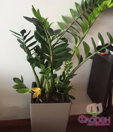 Желтеют листья замиокулькаса