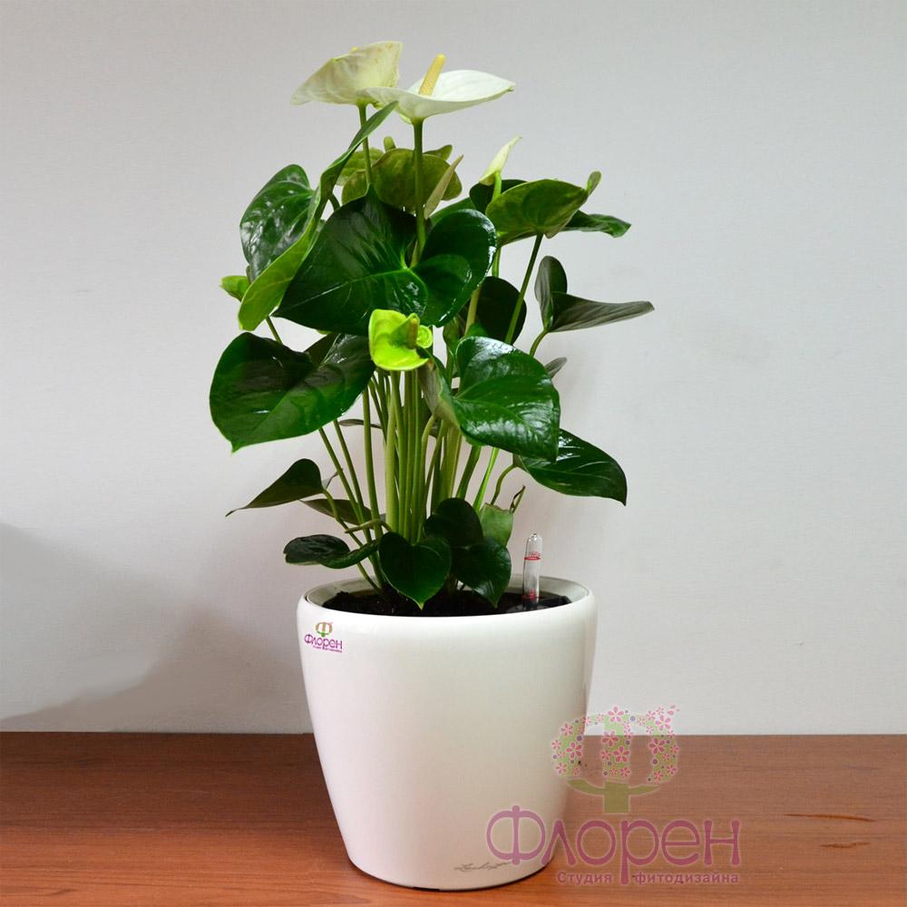 комнатное растение антуриум фото и уход за ними