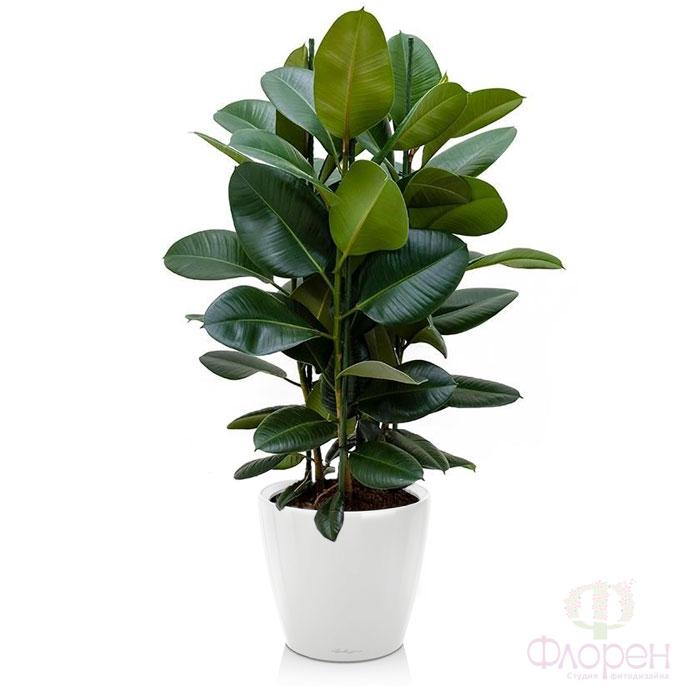 Фикус  ficus  комнатные растения  уход за фикусом