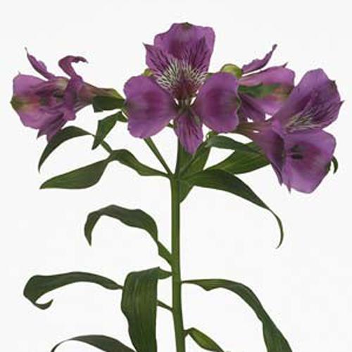 Алстромерия фиолетовая