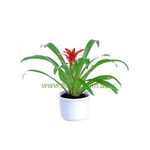Бромелиевые комнатные растения в