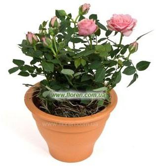 Домашние розы в горшочке купить подарок молодой жене