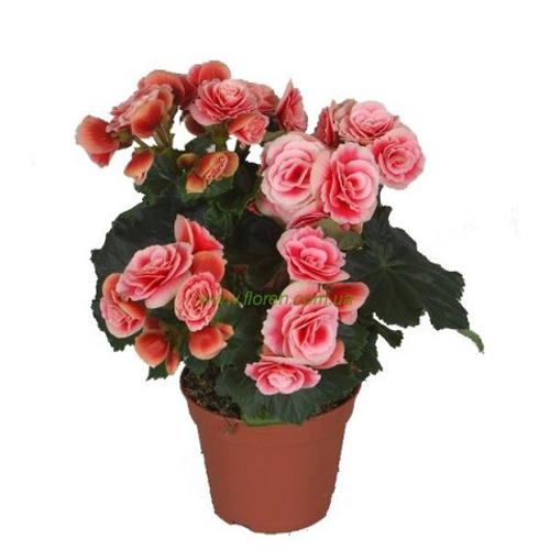 Купить плетущиеся розы