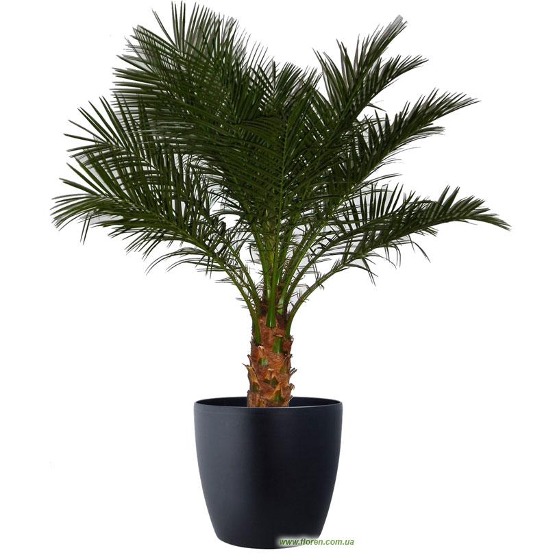 Финиковая пальма из косточки как вырастить финик дома